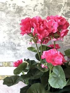Dark Pink Geranium