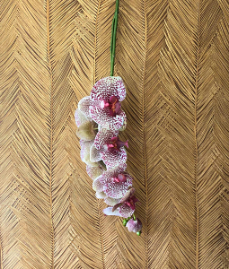 Pink Trailing Orchid
