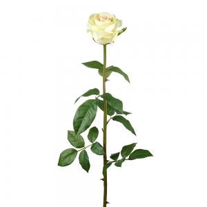 White Peach Rose Stem